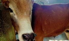 """Hơn 100 trâu, bò mắc bệnh """"lạ"""" ở Quảng Bình, 2 con đã chết"""