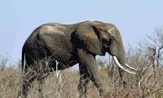 Trốn kiểm lâm gặp phải voi, kẻ săn trộm bị giẫm đạp tới chết