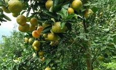 Miền trái ngọt Thắng Hải