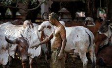 """Một số người Ấn Độ chữa Covid-19 bằng """"chất thải"""" của bò, bác sĩ nói gì?"""