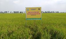 Canh tác lúa thông minh trên vùng đất phèn tại ĐBSCL