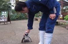 Bé chim cánh cụt 'cuồng yêu'
