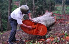 Công khai phá rừng phòng hộ