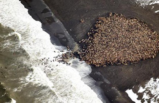 35.000 hải mã 'cắm trại' trên bờ biển Alaska