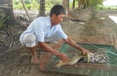 Tỉ phú cá chình Đất Mũi