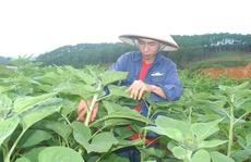 Trồng hoa hướng dương lãi hơn 30 triệu đồng/sào