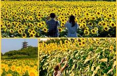 Nhật Bản rực rỡ mùa hoa hướng dương