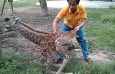 Hươu cao cổ Châu Phi sinh con tại vườn thú Đại Nam