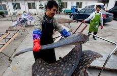 Nhiều nước cấm săn cá mập hiếm, Trung Quốc vẫn vô tư