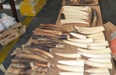 Bắt vụ buôn lậu hơn 40 kg ngà voi qua sân bay Tân Sơn Nhất