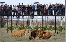 50 con sư tử kẹt giữa xung đột Nga - Ukraine