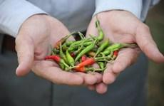 Nông dân ngậm đắng vì ớt không trái