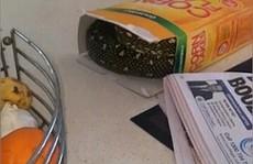 Hoảng hồn phát hiện rắn kim cương 'khủng' trốn trong hộp ngũ cốc