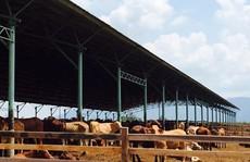 'Đột nhập' trang trại bò của bầu Đức ở Lào
