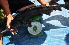 Cá tầm 'lạ' bán nhiều ở chợ đầu mối