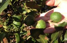 Bảo hiểm cho người trồng cây mắc ca