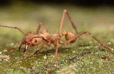 Bị kiến lửa cắn chết khi đang làm đám tang cho mẹ