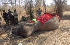 Chú voi rừng Việt Nam khiến chuyên gia quốc tế xúc động
