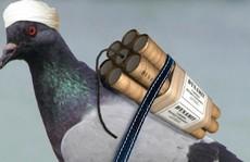 Boko Haram, IS dùng chim, gà đánh bom tự sát