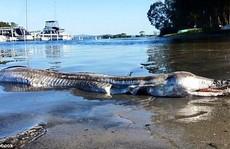 'Quái vật' dạt vào bờ ở Úc gây tranh cãi nảy lửa