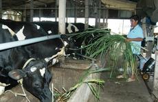 """Đàn bò sữa """"ngơ ngác"""" trước hội nhập"""