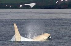 Phát hiện sốc về cá voi sát thủ trắng