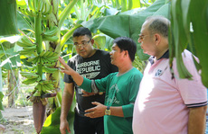 Lão nông chịu chơi, thuê chuyên gia nước ngoài trồng chuối
