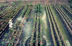 Nông trại hoa sứ tiền tỉ từ vùng trũng