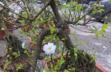 Mai trắng bonsai giá chục triệu khiến nhiều người say mê