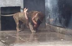 2 con sư tử chết oan vì một thanh niên khỏa thân tự tử bất thành