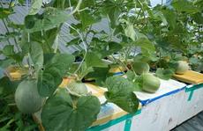 Vườn dưa quả lăn lóc trên nóc chung cư Hà Nội