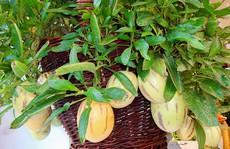 Dưa pepino được trồng thế nào?