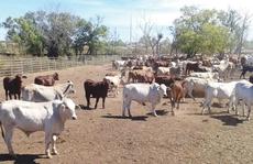 Hết thời ào ào nhập bò Úc về Việt Nam