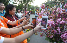 Người Sài Gòn háo hức bên hoa anh đào