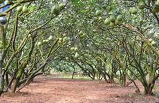 Nông dân lãi trên 1 tỉ mỗi năm từ vườn bưởi đặc sản
