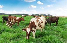 Trang trại bò sữa organic chuẩn châu Âu của Vinamilk