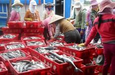 Trúng đậm luồng cá, ngư dân Lý Sơn kiếm cả trăm triệu đồng