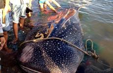 """Cá nhám voi trong 'sách đỏ"""" dạt vào bờ biển Khánh Hòa"""