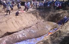 Ngàn người tham gia an táng cá voi 'khủng' chết dạt vào bờ