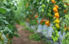 Vườn cà chua được trồng từ sữa và trứng gà