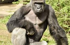 Sở thú Mỹ bắn chết khỉ đột quý hiếm cứu bé trai 4 tuổi