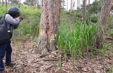 Rừng thông Bảo Lâm mạnh ai nấy phá