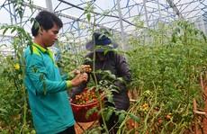 Trồng 1 sào cà chua sạch kiếm 100 triệu đồng mỗi tháng