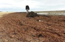 Rong biển chết dạt vào bờ biển chỉ là hiện tượng tự nhiên