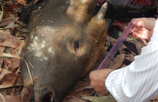 Bắt 2 nghi phạm bắn chết bò tót ở Đồng Nai