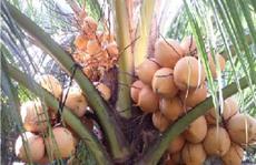 Trồng thành công giống dừa trái có 2 màu rất đẹp
