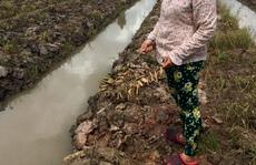 Hơn 3.500 cây cam sành bị kẻ gian chặt phá