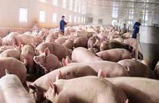 Chăn nuôi heo tiêu chuẩn VietGAP