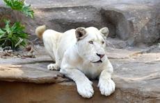Vinpearl Safari Phú Quốc bác bỏ thông tin thú hoang dã chết hàng loạt