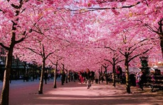 Đà Nẵng: Sẽ tổ chức lễ hội Hoa anh đào vào tháng 4/2016